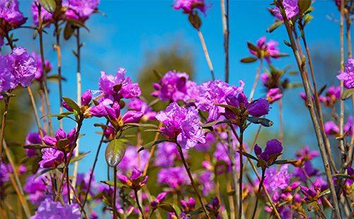 ФИолетовые цветы багульника
