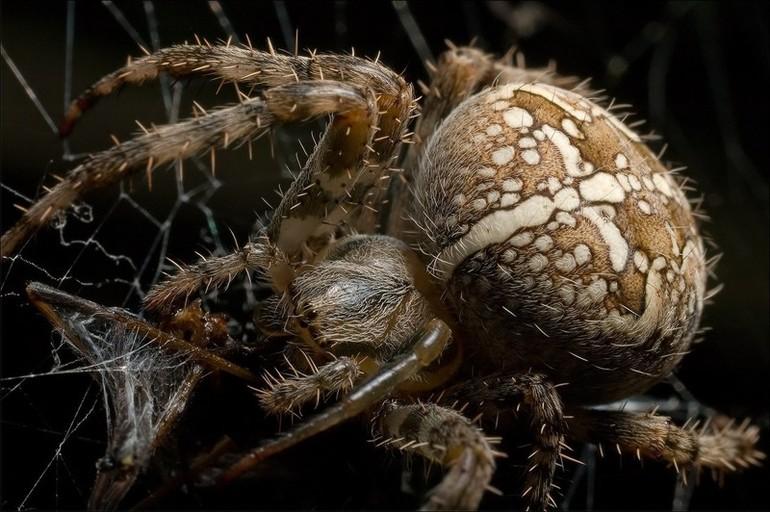 Факты о пауках крестовиках
