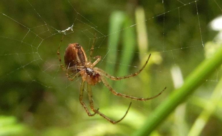 Фотография паука крестовика
