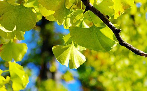 Листья гинко билоба