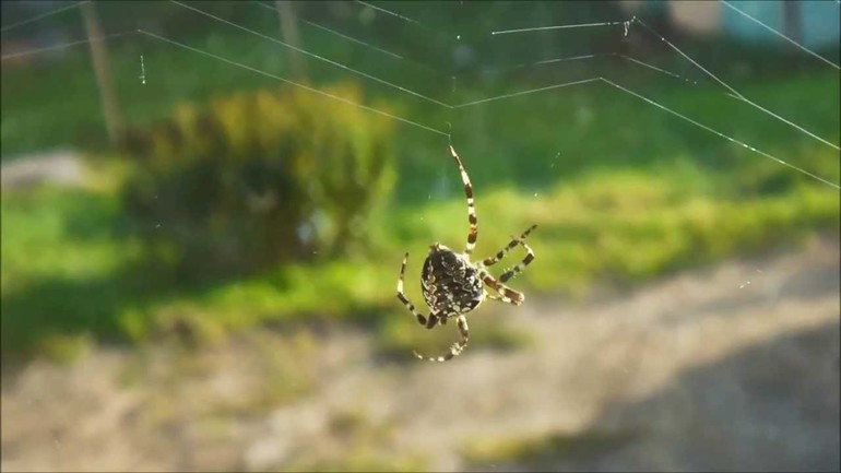 Какого цвета может быть паук крестовик