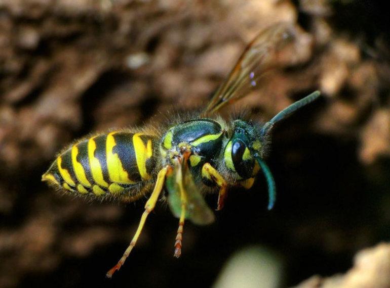 Какую пользу и вред приносят осы