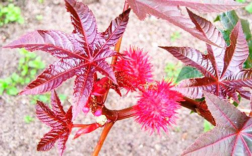 Цветы клещевины