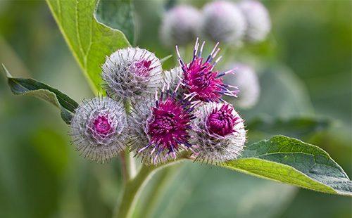 Цветы лопуха