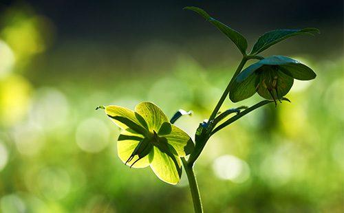 Цветок морозника кавказского
