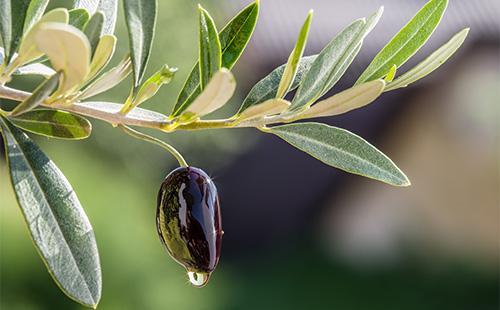 Масло стекает с оливки
