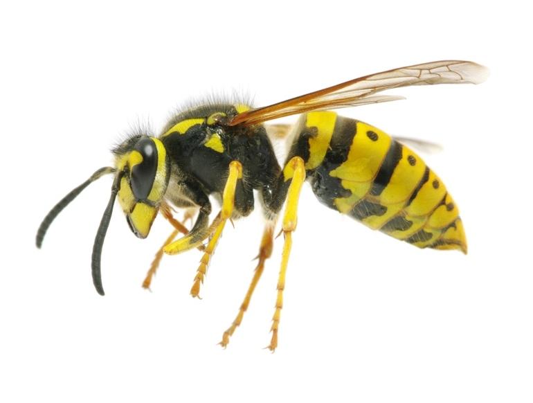 Опасен ли укус осы