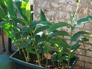 Особенности выращивания имбиря в домашних условиях