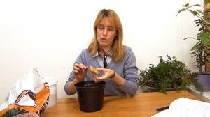 Правила выращивания имбиря в домашних условиях