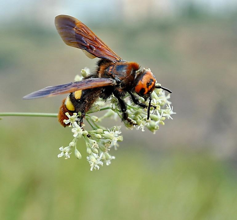 Разновидность осы — сколия