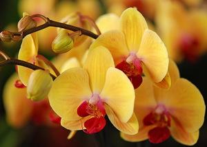 Сколько цветет орхидея