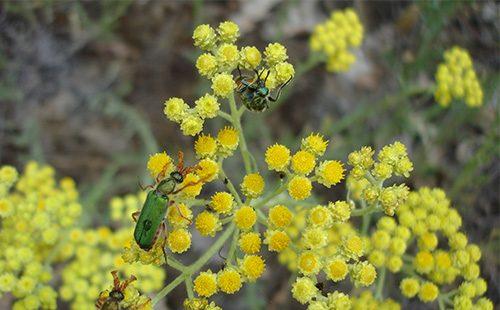 Желтые цветы безсмертника