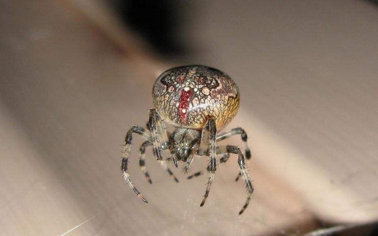 Как выглядит паук крестовик