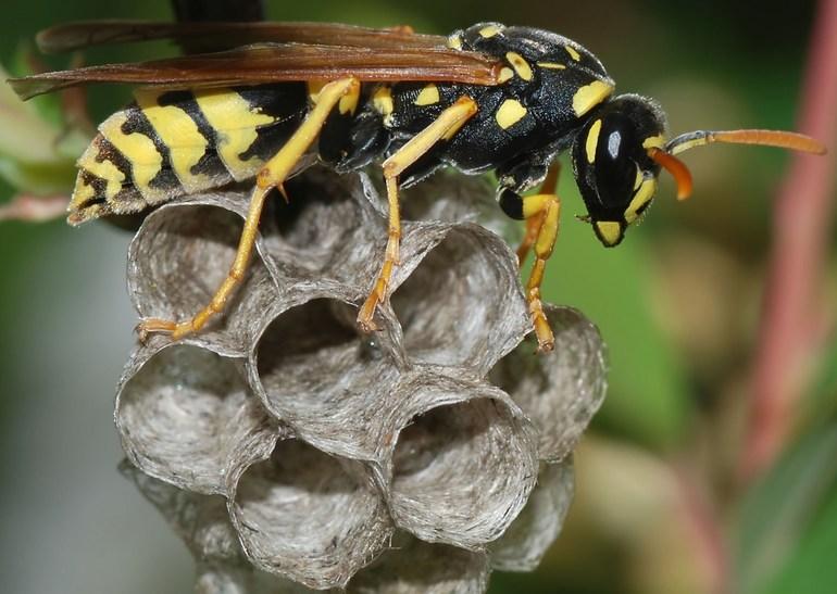 Зачем нужны осы в природе и какая польза от них